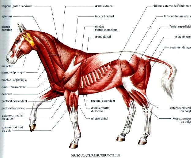 Favori L'anatomie du cheval dans son ensemble - Hippologie.fr RM08