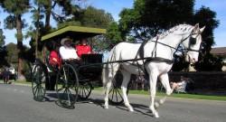 Attelage avec un cheval Camarillo white