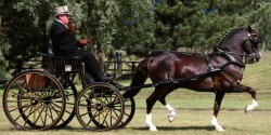 Attelage avec un cheval Hackney