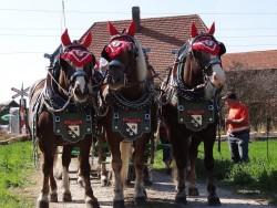 Attelage de chevaux Bauernpferd