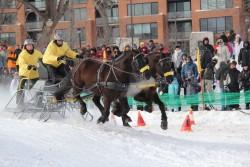 Attelage de chevaux Canadiens
