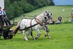 Attelage de chevaux de trait Noriker