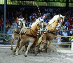 Attelage de chevaux Haflingers