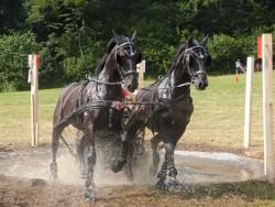 Attelage de chevaux Nonius