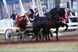 Attelage de chevaux Vlaamperd