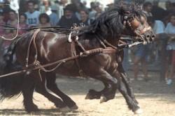 Attelage de poney Bardigiano