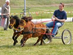 Attelage de poneys shetland