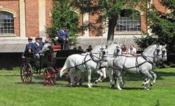 Attelage de prestige avec des chevaux Kladrubers gris