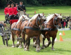 Attelage des chevaux Comtois au Haras National de Cluny