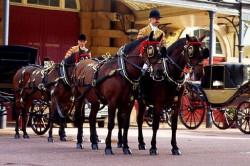 Attelage royal avec des chevaux Cleveland Bay