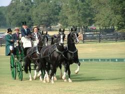Attelage traditionnel de chevaux Gelderland