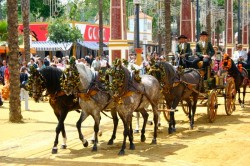 Attelage traditionnel de chevaux PRE