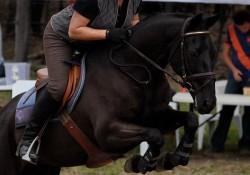 Australian Stock Horse en saut d'obstacle