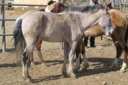 Cheval Abyssinien au modèle