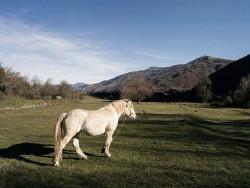 Cheval Albanais - Myzeqea