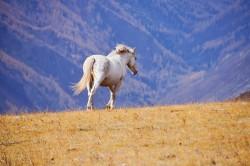 Cheval Altaï dans une plaine