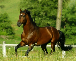 Cheval Anglo-Arabe Sarde au galop