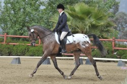 Cheval Appaloosa en dressage