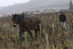 Cheval Auxois au travail dans les vignes
