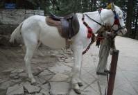 Cheval Baluchi au modèle