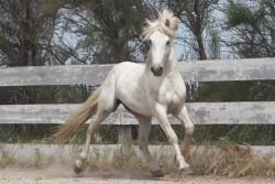 cheval Camargue en liberté