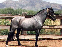 Cheval Cerbat Mustang