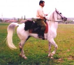 Cheval Cukurova monté