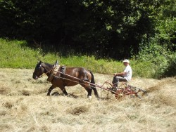 Cheval d'Auvergne lors de travaux agricoles