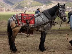 Cheval Danubien lors de travaux agricoles
