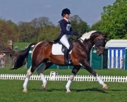 Cheval de Hesse en concours de Dressage