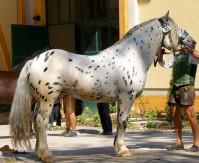 Cheval de trait Noriker au modèle