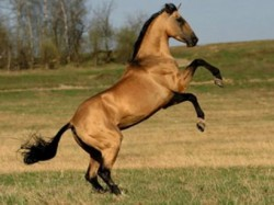 Cheval Deliboz au cabré