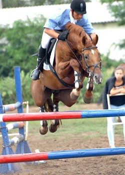 Cheval du Don en saut d'obstacle
