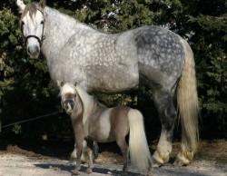 Cheval Falabella et un autre cheval