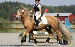 Cheval Finlandais