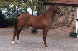 Cheval Gelderland au modèle