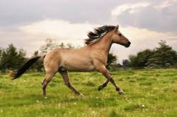 Cheval Henson en liberté