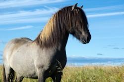 Cheval Islandais en liberté