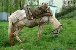 cheval Myzeqea