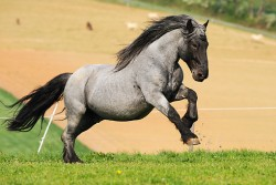 Cheval Noriker au galop
