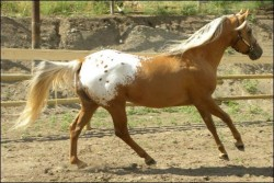 Cheval palomino cape