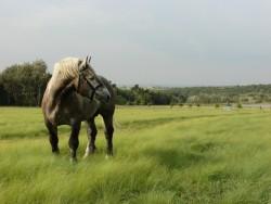 Cheval Percheron en liberté