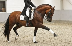 Cheval Pure Race Espagnole en dressage