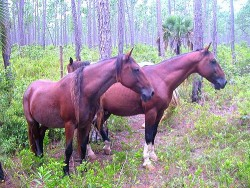 Chevaux Barbe Abaco