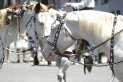 Chevaux Camarillo white