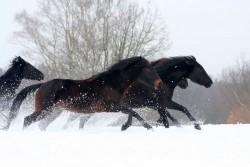 Chevaux Karbadins en liberté dans la neige