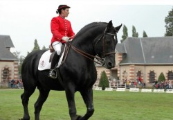 Cob Normand noir dressage
