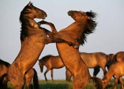 Combat d'étalons Mustang