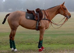 Criollo équipé pour le polo
