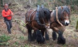 Débardage à l'aide de chevaux de trait